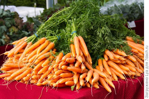Собранная морковь в пучках