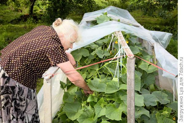 Укрывают пленкой огуречные плети от холодных дождей