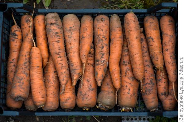 Морковь в ящиках