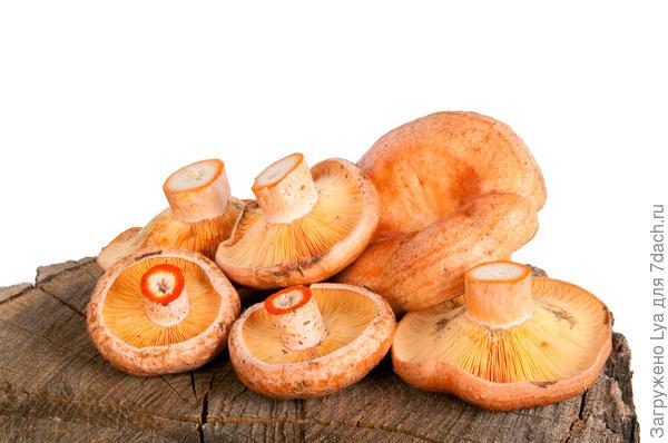 Рыжики — грибы первой категории