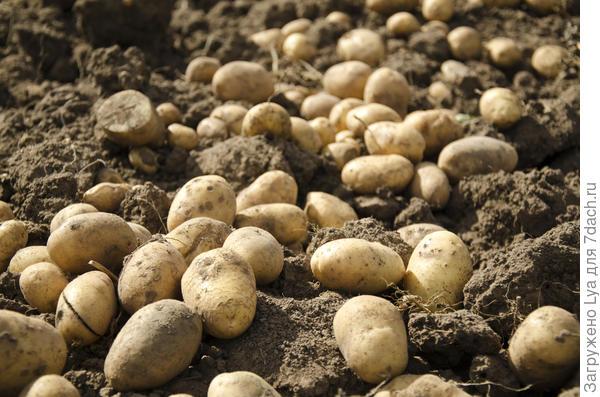 После выкапывания картофеля рекомендуется оставить клубни на месте копки на 1-2 часа для обсушивания