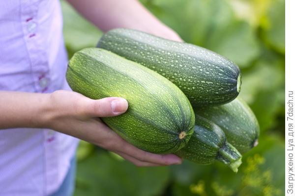 Как подготовить плоды кабачков для хранения