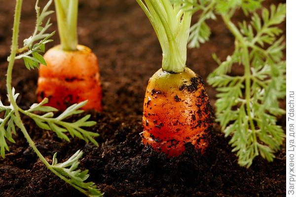 Какие сорта моркови лучше хранятся