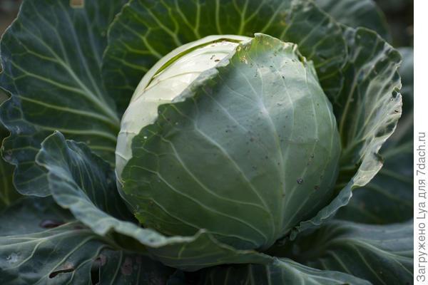 Позднеспелые сорта капусты