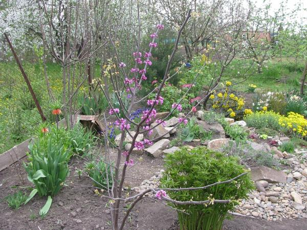 Церцис в моем саду