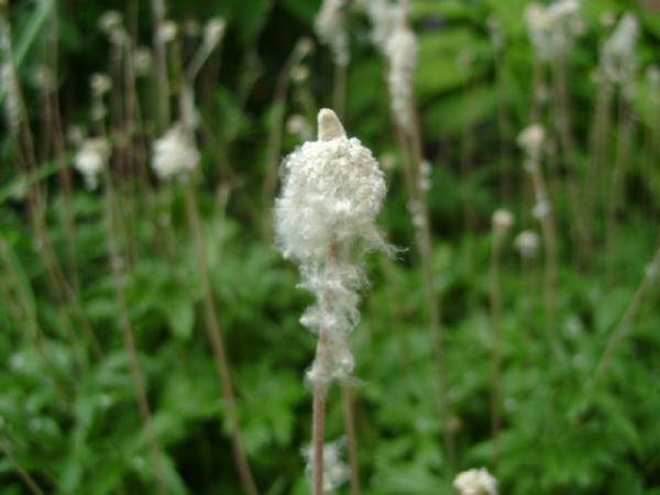 Анемона сеет семена