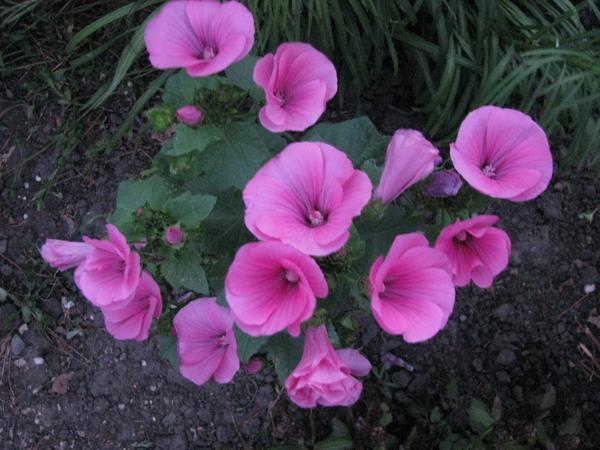 Лаватера цветущая