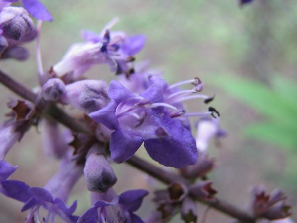 Цветы витекса