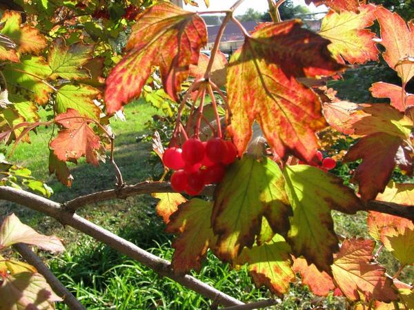 Калиновый куст осенью