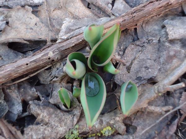 Тюльпаны тронулись в рост зимой