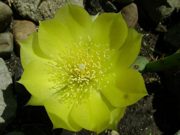 Цветок опунции