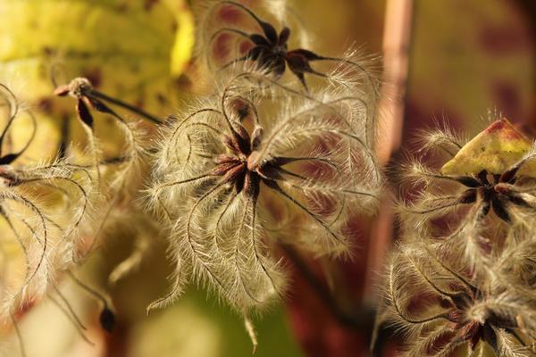 Семена клематиса, фото сайта www.sazhaemsad.ru