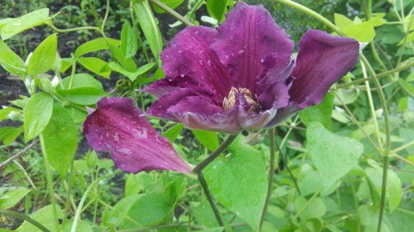 Необычный цветок клематиса