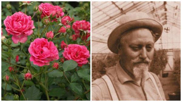 Роза сорт Elmshorn, фото сайта www.eko-sad.ru и Вильгельм Кордес I, фото сайта newflora.com