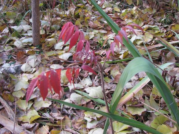 Яркая осенняя листва сумаха