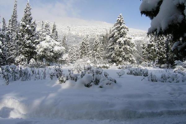 Чайногибридные розы на Южном берегу Крыма иногда кратковременно укрывает снег
