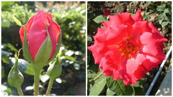 Роза сорт Antonia Ridge