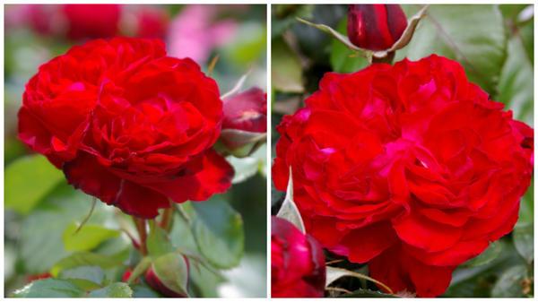 Роза сорт Traviata