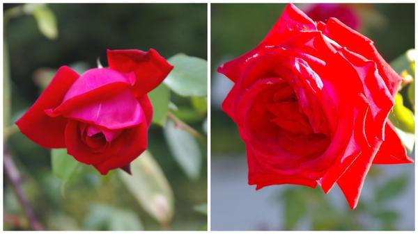 Роза сорт Казахстанская Юбилейная