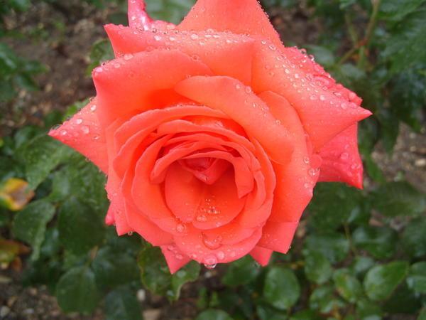 Роза сорт Freude