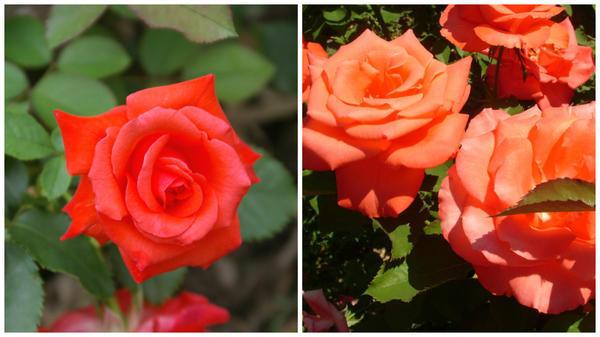 Роза сорт Lady Rose