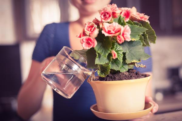 Перед внесением подкормки растение необходимо полить.