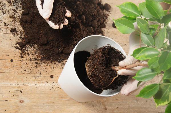 Пересадка растения в новый питательный земельный субстрат.