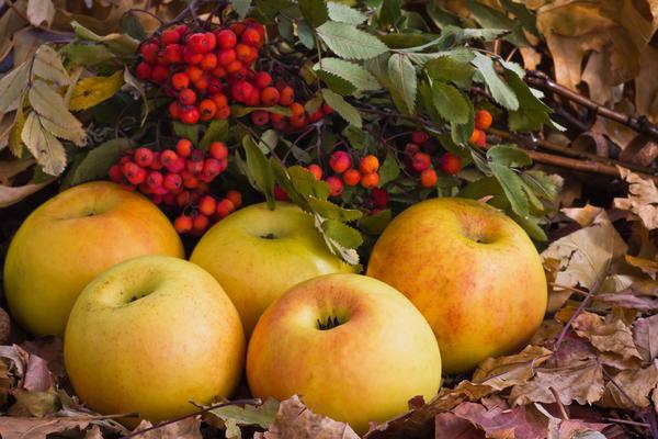 Яблоки моченые с рябиной