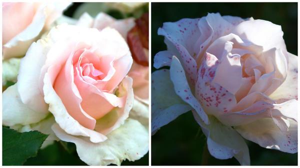 Роза сорт Johan Strauss в октябре