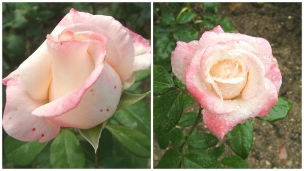 Роза сорт 'Anna'