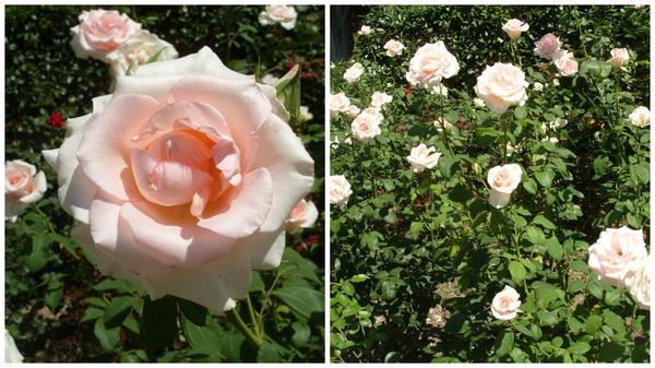 Роза сорт Киевлянка
