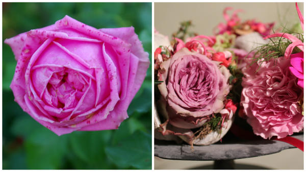 Роза сорт Auguste Renoir в моем объективе в октябре и венок с вплетением таких душистых роз, как этот сорт, фото Ярмилы Неугебауеровой