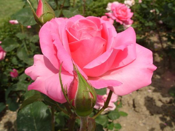 Роза сорт Portrait