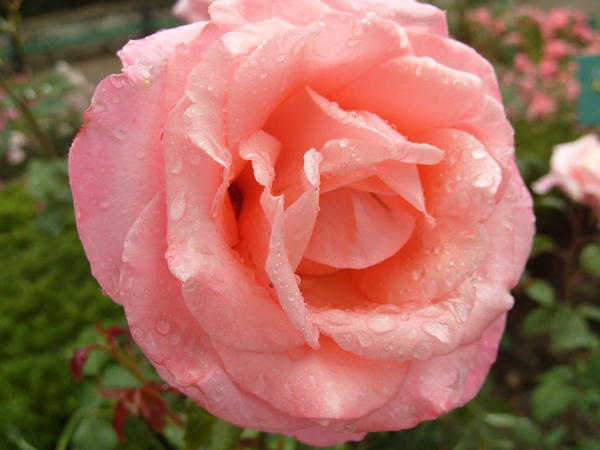 Роза сорт Sylvia
