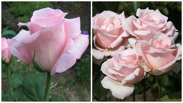 Роза сорт Marchenkonigen в бутоне и в полуроспуске, фото сайта Procvetok.com