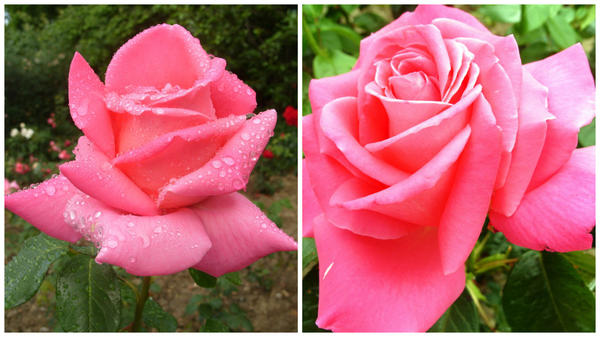 Роза сорт Климентина