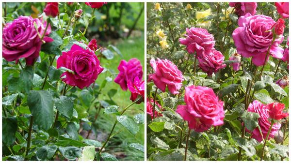 Роза сорт Big Purple