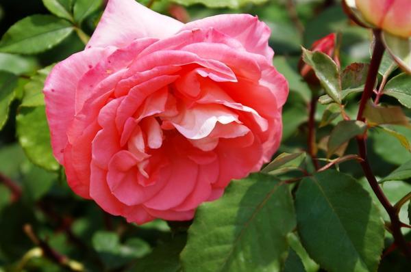 Роза сорт Prestige de Lyon