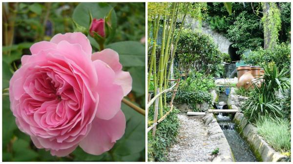 Роза сорт Антон Чехов, фото сайта www.kajuta.net, справа фрагмент чеховского сада в Ялте в моем объективе