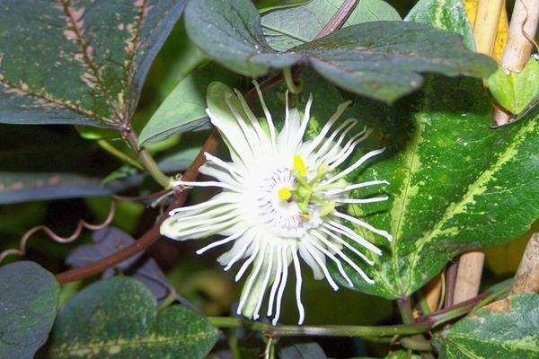 Passiflora trifasciata фото сайта pobedpix.com