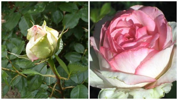 Роза сорт Honore de Balzac бутон в моем объективе и цветок в полуроспуске, фото сайта rosy.com.ua