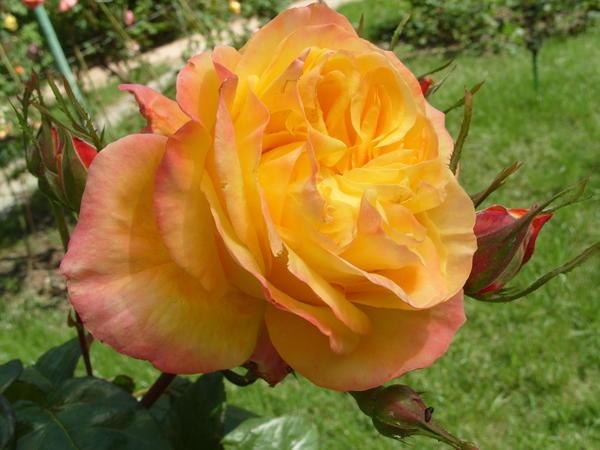 Роза сорт Mascotte всегда такая разная