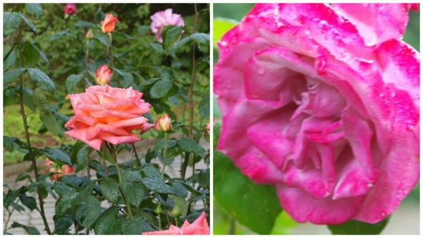Роза сорт Folklore