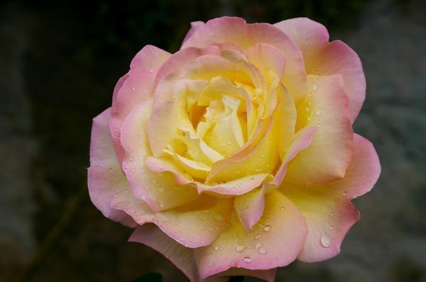 Роза сорт Gloria Dei