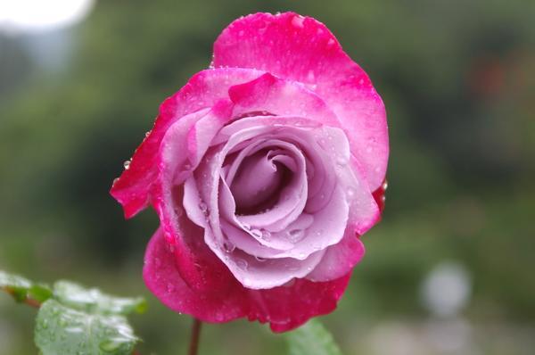 Роза сорт Paradise