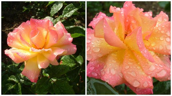 Роза сорт Mexicana
