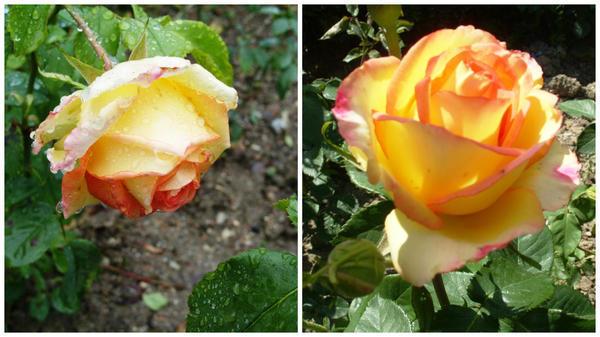 Роза сорт Ambiance