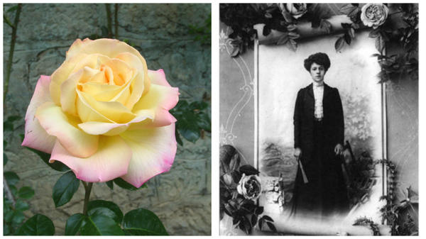 Несравненная роза сорт Gloria Dei в моем объективе и Клаудиа Дабриул, фото сайта www.kajuta.net