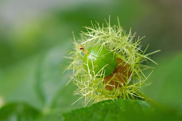 Семена пассифлоры прорастают быстро