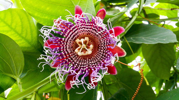 Красавица пассифлора